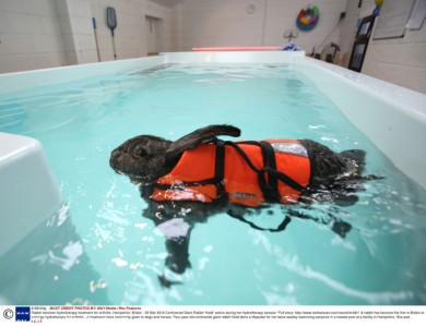 Rabbit receives hydrotherapy treatment for arthritis, Hampshire, Britain - 05 Mar 2013