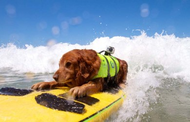 """BOARDER�COLLIES AND SURF MAD MUTTS HIT THE WAVES DOG SURFING"