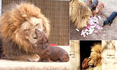 Lion Befriends Pack Of Dogs At Animal Park