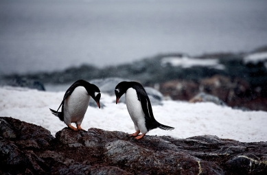 23A1517700000578-2855812-Far_from_John_Lewis_Two_Gentoo_Penguins_performa_courtship_cerem-12_1417444616906