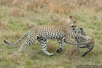 Leopard Swats Her Cub From Branch